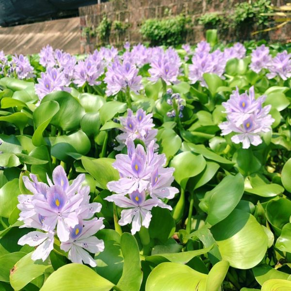 Flowering Water Hyacinth