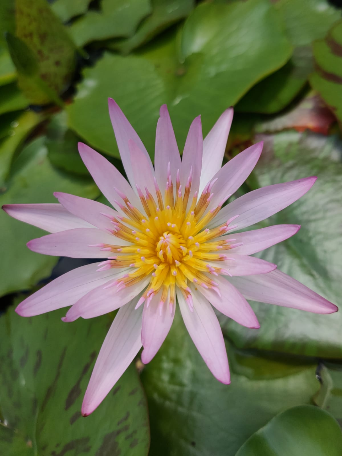 Pale Pink Tropical Water Lily